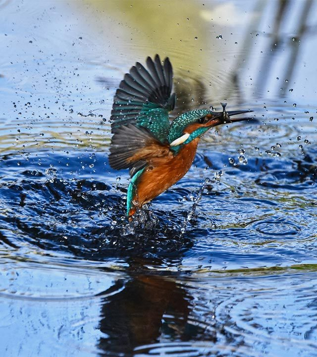 Kingfisher Freedom
